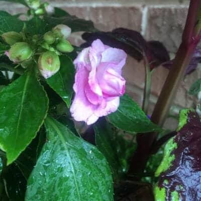 Double Impatiens in Fairy Flower Garden