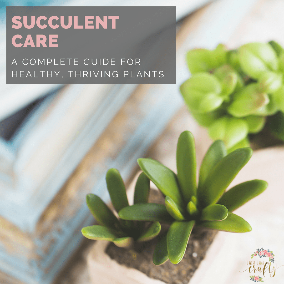 Want healthy succulents? Here is your complete guide to taking care of them